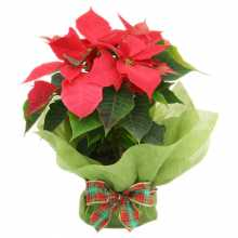 Nothing Says Christmas like a Beautiful Poinsettia